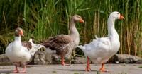 Le confinement obligatoire des volailles et oiseaux captifs reste d'actualité